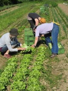 Gemüseanbau als Solidarische Landwirtschaft